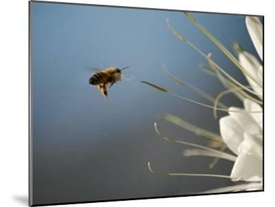 Seen Frozen in Flight, a Bee Carries Pollen Towards a Big White Flower-Stephen St^ John-Mounted Photographic Print