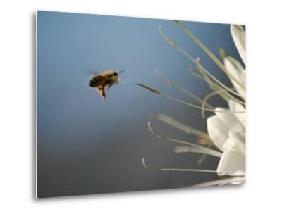 Seen Frozen in Flight, a Bee Carries Pollen Towards a Big White Flower-Stephen St^ John-Metal Print