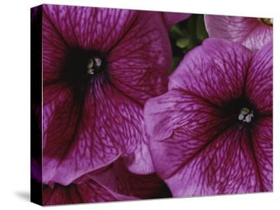 A Close View of a New Variety of Pink Petunias-Jonathan Blair-Stretched Canvas Print