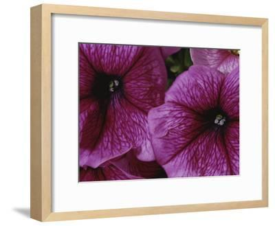 A Close View of a New Variety of Pink Petunias-Jonathan Blair-Framed Photographic Print