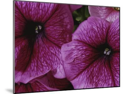 A Close View of a New Variety of Pink Petunias-Jonathan Blair-Mounted Photographic Print