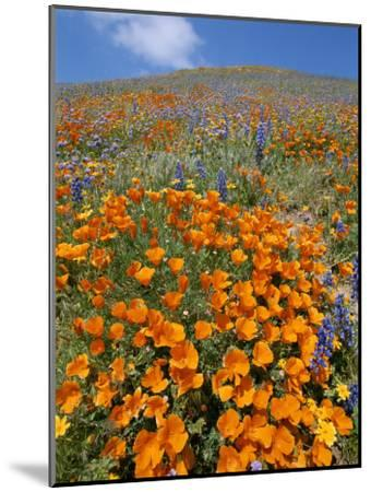 California Poppies and Lupines Fill a Landscape with a Golden Glow-Rich Reid-Mounted Photographic Print