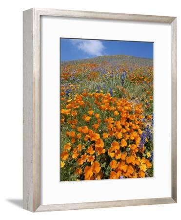 California Poppies and Lupines Fill a Landscape with a Golden Glow-Rich Reid-Framed Photographic Print