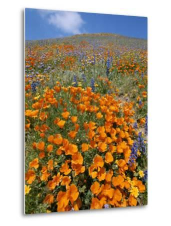 California Poppies and Lupines Fill a Landscape with a Golden Glow-Rich Reid-Metal Print