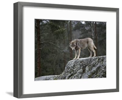 Wolf on Rock-Mattias Klum-Framed Photographic Print