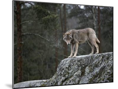 Wolf on Rock-Mattias Klum-Mounted Photographic Print