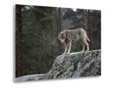 Wolf on Rock-Mattias Klum-Metal Print