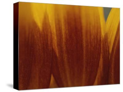 A Close View of the Petals of a Sunflower-Raul Touzon-Stretched Canvas Print