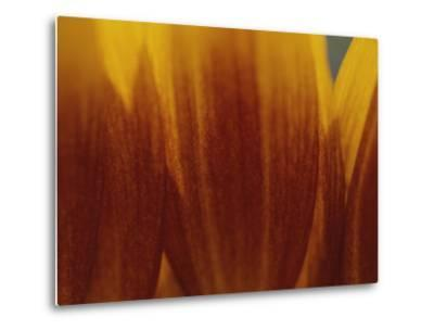 A Close View of the Petals of a Sunflower-Raul Touzon-Metal Print