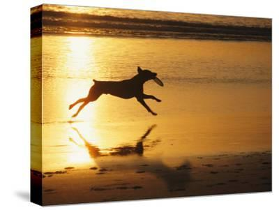 A Pet Dog Runs with a Frisbee on a Beach-Bill Curtsinger-Stretched Canvas Print
