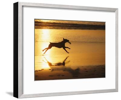 A Pet Dog Runs with a Frisbee on a Beach-Bill Curtsinger-Framed Photographic Print