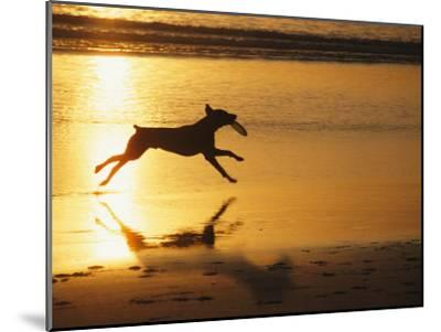 A Pet Dog Runs with a Frisbee on a Beach-Bill Curtsinger-Mounted Photographic Print
