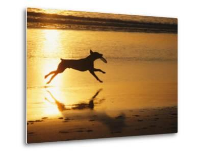 A Pet Dog Runs with a Frisbee on a Beach-Bill Curtsinger-Metal Print