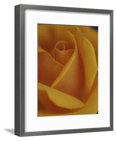 Close View of Olympic Gold Rose-Jason Edwards-Framed Photographic Print