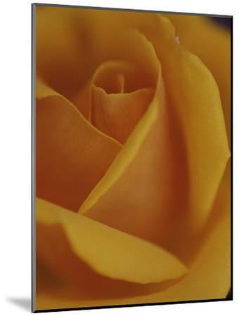 Close View of Olympic Gold Rose-Jason Edwards-Mounted Photographic Print