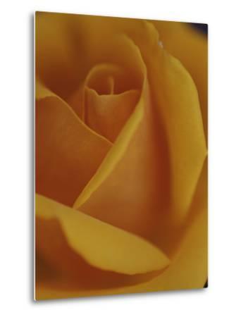 Close View of Olympic Gold Rose-Jason Edwards-Metal Print