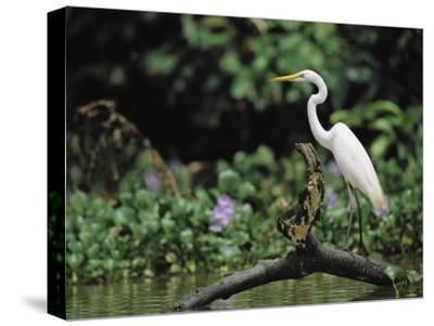 A Great Egret, Casmerodius Albus, Perches on Fallen Tree Limb-Tim Laman-Stretched Canvas Print