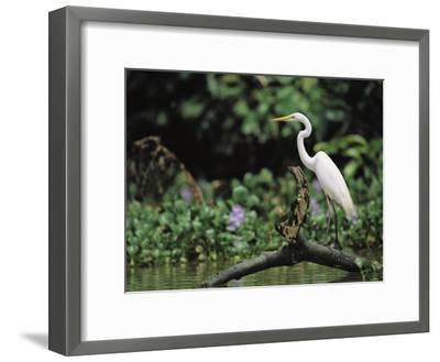 A Great Egret, Casmerodius Albus, Perches on Fallen Tree Limb-Tim Laman-Framed Photographic Print
