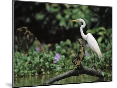 A Great Egret, Casmerodius Albus, Perches on Fallen Tree Limb-Tim Laman-Mounted Photographic Print
