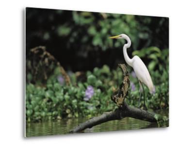 A Great Egret, Casmerodius Albus, Perches on Fallen Tree Limb-Tim Laman-Metal Print