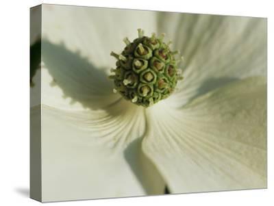 Close View of a Dogwood Blossom-Darlyne A^ Murawski-Stretched Canvas Print