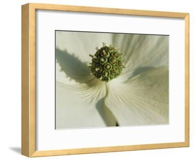 Close View of a Dogwood Blossom-Darlyne A^ Murawski-Framed Photographic Print