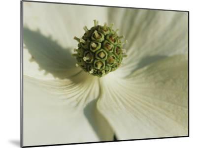 Close View of a Dogwood Blossom-Darlyne A^ Murawski-Mounted Photographic Print