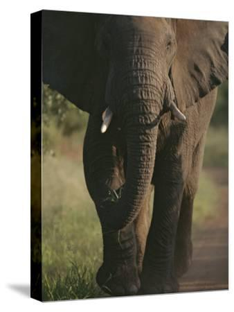 A Portrait of an African Elephant, Loxodonta Africana, Walking-Tim Laman-Stretched Canvas Print