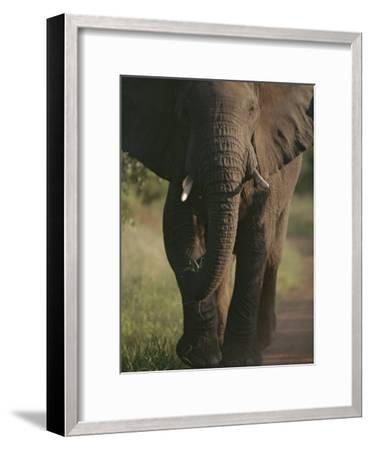 A Portrait of an African Elephant, Loxodonta Africana, Walking-Tim Laman-Framed Photographic Print