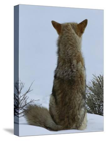 A Coyote Sitting in the Snow Looking out over a White Landscape-Tom Murphy-Stretched Canvas Print