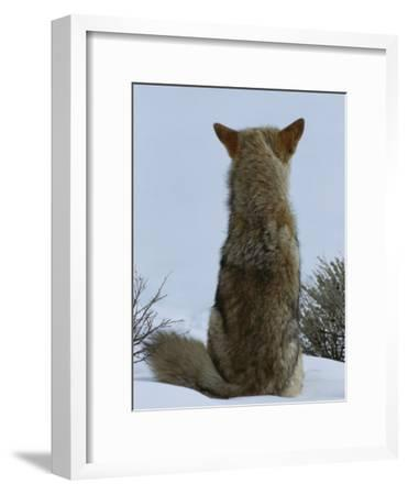 A Coyote Sitting in the Snow Looking out over a White Landscape-Tom Murphy-Framed Photographic Print