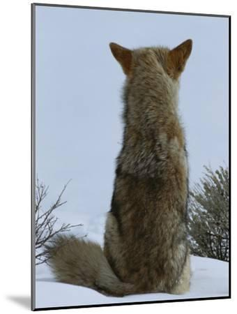 A Coyote Sitting in the Snow Looking out over a White Landscape-Tom Murphy-Mounted Photographic Print