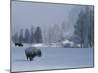 Snow Dusted American Bison Forage Near a Steaming Geyser-Tom Murphy-Mounted Photographic Print