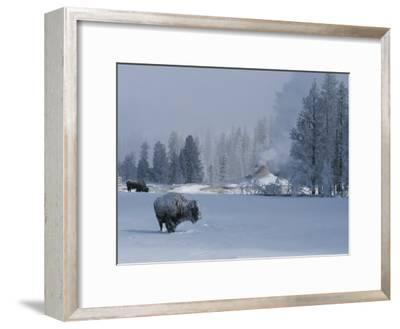 Snow Dusted American Bison Forage Near a Steaming Geyser-Tom Murphy-Framed Photographic Print