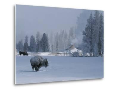 Snow Dusted American Bison Forage Near a Steaming Geyser-Tom Murphy-Metal Print