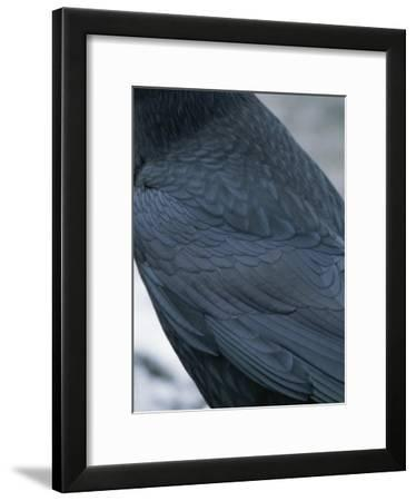 A Close View of the Back and Wing of a Raven-Tom Murphy-Framed Photographic Print