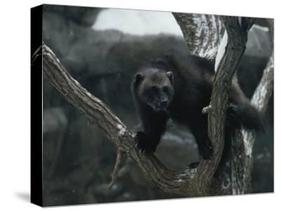 A Captive Wolverine in a Snow-Dusted Tree-Annie Griffiths Belt-Stretched Canvas Print