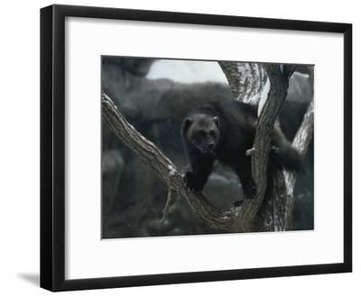 A Captive Wolverine in a Snow-Dusted Tree-Annie Griffiths Belt-Framed Photographic Print