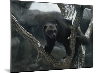 A Captive Wolverine in a Snow-Dusted Tree-Annie Griffiths Belt-Mounted Photographic Print