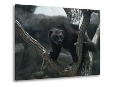 A Captive Wolverine in a Snow-Dusted Tree-Annie Griffiths Belt-Metal Print