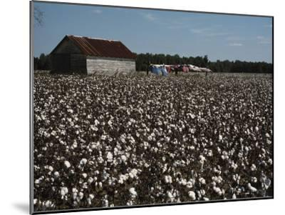 A Cotton Field Surrounds a Small Building and Clothesline-Medford Taylor-Mounted Photographic Print