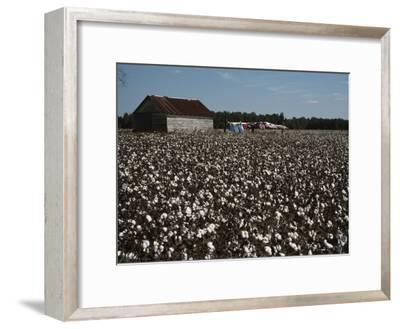 A Cotton Field Surrounds a Small Building and Clothesline-Medford Taylor-Framed Photographic Print