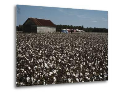 A Cotton Field Surrounds a Small Building and Clothesline-Medford Taylor-Metal Print