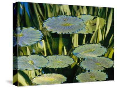Water Lily Pads on the Surface of a Chicago Botanic Garden Pool-Paul Damien-Stretched Canvas Print