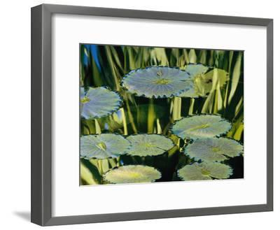 Water Lily Pads on the Surface of a Chicago Botanic Garden Pool-Paul Damien-Framed Photographic Print