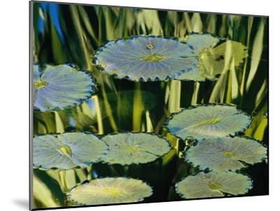 Water Lily Pads on the Surface of a Chicago Botanic Garden Pool-Paul Damien-Mounted Photographic Print