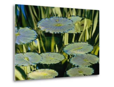 Water Lily Pads on the Surface of a Chicago Botanic Garden Pool-Paul Damien-Metal Print