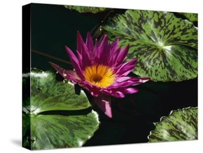 A Water Lily Blossom and Pads on a Chicago Botanic Garden Pool-Paul Damien-Stretched Canvas Print
