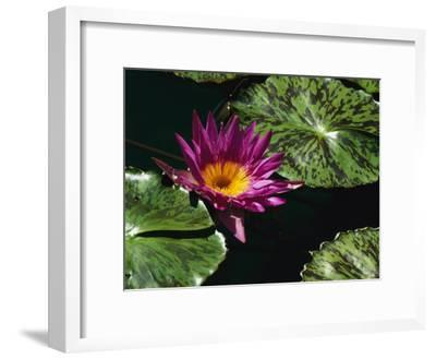 A Water Lily Blossom and Pads on a Chicago Botanic Garden Pool-Paul Damien-Framed Photographic Print