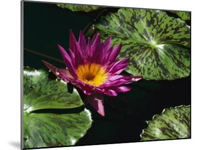 A Water Lily Blossom and Pads on a Chicago Botanic Garden Pool-Paul Damien-Mounted Photographic Print